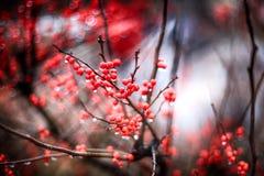 Röd bärbakgrund Royaltyfria Bilder