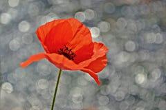 Röd backgorund för effekt för vallmowhitbokeh Arkivfoton