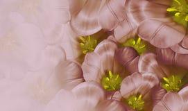 Röd bakgrund för blom- vår Vit tulpanblomning för blommor Närbild greeting lyckligt nytt år för 2007 kort Royaltyfri Foto