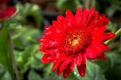 Röd bakgrund för gerberablommanatur Royaltyfria Foton