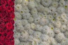 Röd bakgrund för för rosor och vita blommor arkivfoton