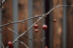 Röd bakgrund för suddighet för natur för höst för staket för filial för bärnärbildträd wood Royaltyfria Foton