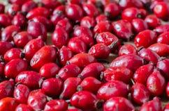 Röd bakgrund för Sweetbrier bär Arkivfoton