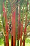 Röd bambu royaltyfri fotografi