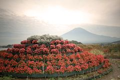 Röd Bassiascoparia och Fuji berg Royaltyfria Bilder