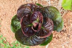 Röd batavia grönsaksallad Arkivbilder