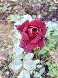 Röd beautipic fotografering för bildbyråer