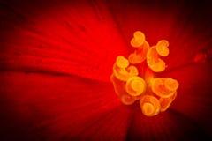 Röd begoniamakrosammansättning med en regndroppe Juli Royaltyfri Fotografi