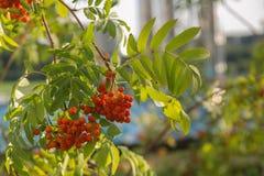 Röd bergaska på en filial, makrofoto med den selektiva fokusen höstlig färgrik röd rönnfilial röd mogen filial för rönnbär Bunc arkivfoton