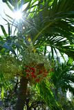 Röd betel för Closeup - muttrar på det Plam trädet arkivbilder