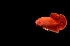 Röd bettafisk Arkivfoto