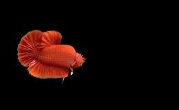 Röd bettafisk arkivbilder