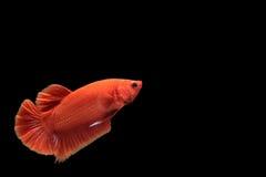 Röd bettafisk arkivbild