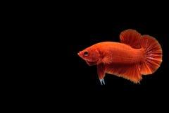 Röd bettafisk royaltyfri fotografi