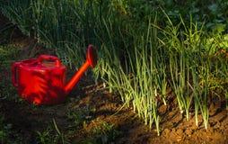 Röd bevattna tidningsanka i trädgårdgräsplanen royaltyfri bild