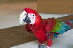 Röd bevingad ara Fotografering för Bildbyråer