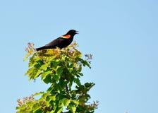Röd bevingad Blackbird Arkivfoto