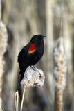 Röd bevingad blackbird (Agelaiusphoeniceusen) Arkivfoton