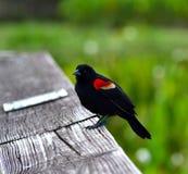 Röd bevingad blackbird (Agelaiusphoeniceusen) Fotografering för Bildbyråer