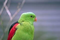 Röd bevingad papegoja Arkivfoto