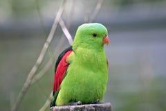 Röd bevingad papegoja Royaltyfri Foto
