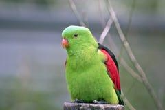 Röd bevingad papegoja Arkivfoton