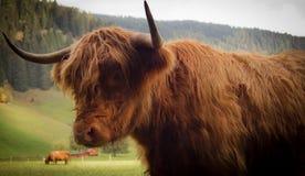 Röd bison på sidan Arkivbilder
