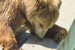 Röd björn med en aptit för att äta valnötter Arkivfoton