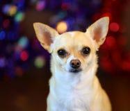Röd & blå bakgrund för Chihuahua - - nära övre - STOR mapp arkivbilder