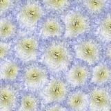 Röd blått-guling bakgrund Bukettblommor av ljusa vita krysantemum Närbild Arkivbild