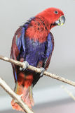 Röd-blått papegoja Arkivfoton