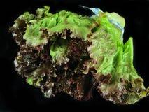 Röd bladgrönsallat Royaltyfri Fotografi