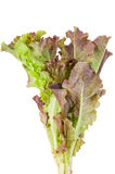 Röd bladgrönsallat Royaltyfri Foto