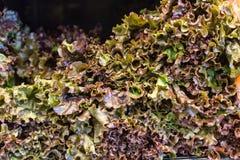 Röd bladgrönsallat som sett på bordlägga i ett lager Arkivfoton