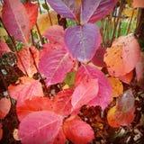 Röd bladsammansättning Royaltyfria Foton