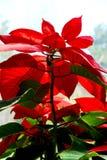 Röd bladväxt Fotografering för Bildbyråer