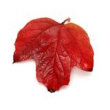 Röd bladviburnum Royaltyfri Fotografi