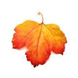 Röd bladviburnum Fotografering för Bildbyråer