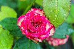 Röd blandning Floribunda Fotografering för Bildbyråer