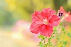 Röd blomma Fotografering för Bildbyråer
