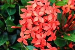 Röd blomma 001 Royaltyfri Foto