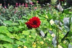 Röd blomma, Amsterdam Royaltyfri Fotografi