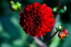 Röd blomma av dahlian Royaltyfria Bilder
