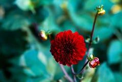 Röd blomma av dahlian Royaltyfri Fotografi