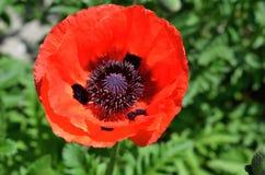 Röd blomma av den kultiverade vallmo Arkivbild