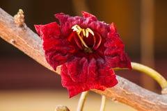 Röd blomma av korvträdet royaltyfri bild