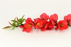 Röd blomma av kvitten Royaltyfri Fotografi