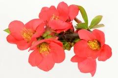 Röd blomma av kvitten Arkivfoto