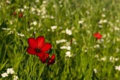 Röd blomma av lin i fältet arkivfoto
