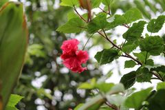 Röd blomma av Manipur royaltyfria foton